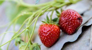 salade fraises menthe sureau